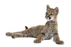 Puma cub - Puma concolor (3,5 months) Royalty Free Stock Image