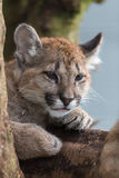 Puma Cub Royalty Free Stock Images