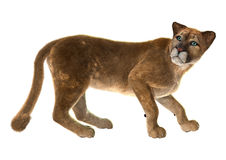 Puma. 3D digital render of a puma, also known as a cougar, mountain lion, or catamount, isolated on white background royalty free illustration