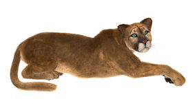 Puma Royalty Free Stock Image