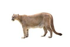 Puma d'isolement Photos stock