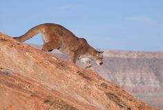 Puma dans le désert rouge de roche de l'Utah du sud Photo stock