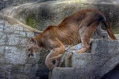 Puma dans une cage photos libres de droits