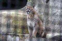 Puma dans une cage photographie stock libre de droits