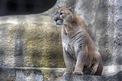 Puma dans une cage images stock