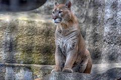 Puma dans une cage photographie stock