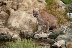 Puma, das auf Felsen sitzt Stockfoto