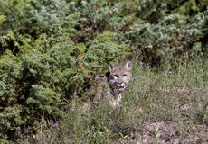 Puma, das aus den Pinsel herauskommt Lizenzfreies Stockfoto