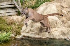 Puma, das weg von einem Felsen über Wasser springt Lizenzfreie Stockbilder