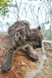 Puma de bébé images stock