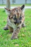 Puma de bébé Photos stock