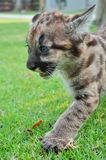 Puma de bébé Photo stock