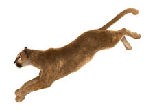 puma de grand chat images libres de droits