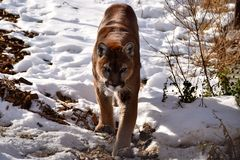 Puma de égrappage Images stock