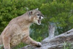 Puma de grondement Images libres de droits