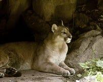 Puma de reclinación Imagen de archivo