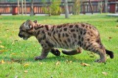 Puma del bambino Fotografie Stock