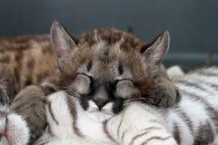 Puma del bebé Imagen de archivo libre de regalías