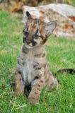 Puma del bebé Foto de archivo libre de regalías