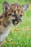 Puma del bebé Foto de archivo