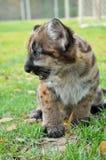 Puma del bebé Fotos de archivo