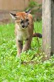 Puma del bebé Imágenes de archivo libres de regalías
