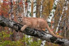 Puma del varón adulto y x28; Concolor& x29 del puma; Mira hacia fuera de rama del abedul Imagen de archivo
