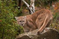 Puma del varón adulto y x28; Concolor& x29 del puma; Vueltas detrás de la roca Imagenes de archivo