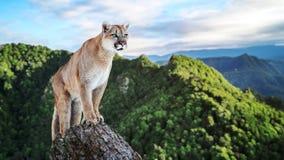 Puma in den Bergen, Berglöwe - Puma Stockfoto