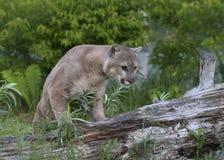 Puma, der auf einen Klotz geht Lizenzfreies Stockfoto