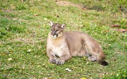 Puma, der auf grünem Gras stillsteht lizenzfreies stockbild