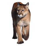 Puma, der an der Kamera lokalisiert am Weiß geht Stockbild