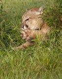 Puma, der seine Tatzen leckt Lizenzfreie Stockfotos