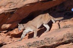 Puma, der von einem beschatteten Überhang in das Morgenlicht zurücktritt Lizenzfreies Stockbild