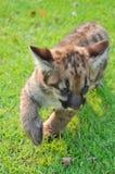 Puma do bebê Fotos de Stock Royalty Free