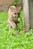 Puma do bebê Fotografia de Stock Royalty Free