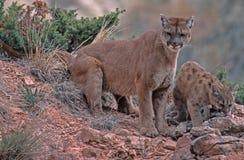 Puma e jogo Imagens de Stock Royalty Free