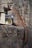Puma e una cassa Fotografia Stock Libera da Diritti