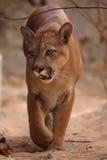 Puma eller puma Royaltyfri Bild
