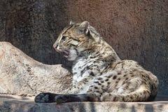 Puma en caverne Photos libres de droits