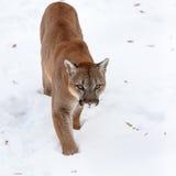 Puma en el bosque, león de montaña, solo gato en nieve Fotografía de archivo libre de regalías