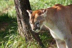 Puma en la sombra Fotografía de archivo libre de regalías