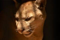 Puma en un cautiverio Imágenes de archivo libres de regalías