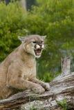 Puma enojado Imágenes de archivo libres de regalías