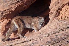 Puma entrant dans une voûte de grès et regardant au-dessus de elle l'épaule en arrière du ` s Images libres de droits