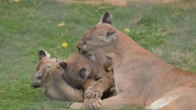 Puma et petits animaux jouant - grand chat