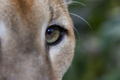 Puma Eye. Close up of Puma eye in Coast Rica Royalty Free Stock Photos