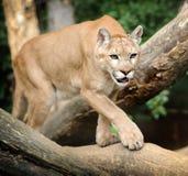 Puma Royalty Free Stock Photography