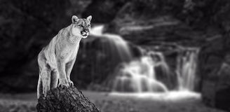 Puma at the Falls, mountain lion royalty free stock photo