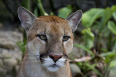 Puma (Felis concolor) Stock Photos